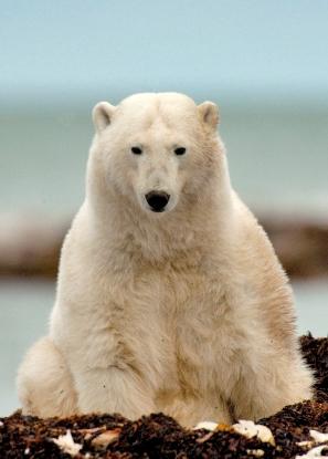 MICHELLE_VALBERG_Polar Bear_V3X2117